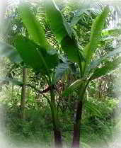 leaf fiber - abaca plant