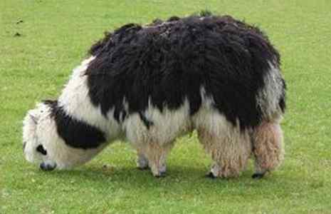 alpaca Cria