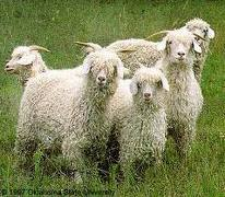 Angora Mohair Goats