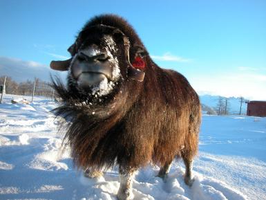 Big Musk Oxen