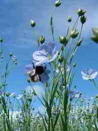 bast fiber - flax