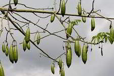 kapok fruits